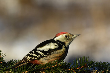 Obraz na Szkle Eko Dzięcioł średni (Dendrocopos medius) w pobliżu miejsca dokarmiania ptaków na skraju ponadstuletniego lasu.