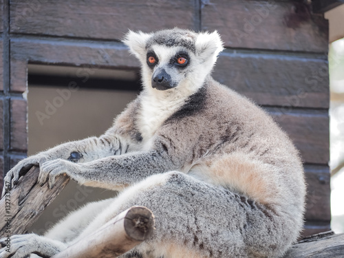 Fotografering  Close Up of Ring-Tailed Lemur (Lemur catta)