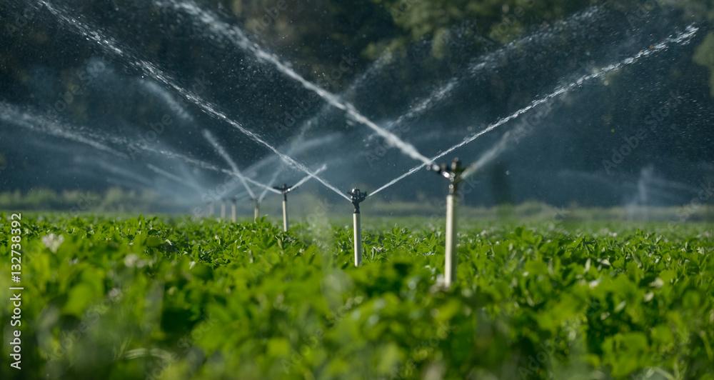 Fototapety, obrazy: Water sprinklers irrigating a field.