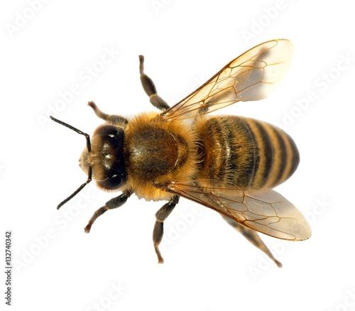 Poster Bee detail of bee or honeybee , Apis Mellifera