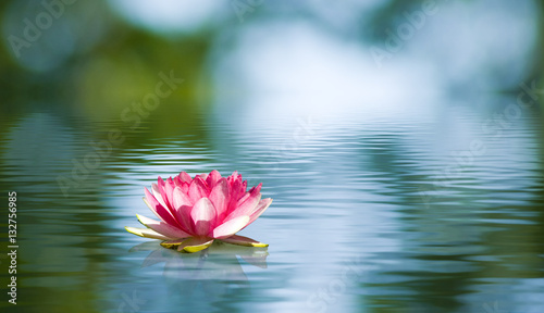 Canvas Print Beautiful lotus flower on the water in a park close-up.