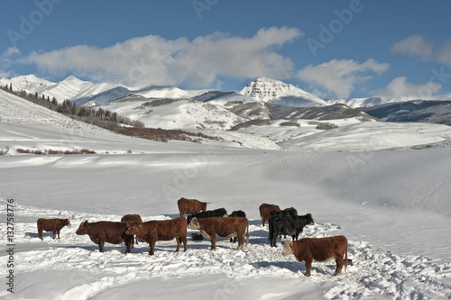 Fotografie, Obraz  Teocalli Cows