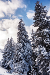 Fototapeta Las fir trees covered with snow. beautiful winter landscape