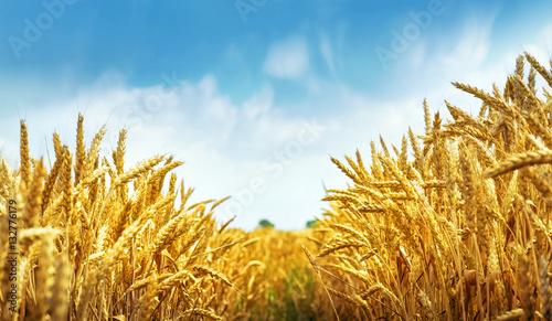 Plakat Pole pszenicy złotej gotowe do zbioru