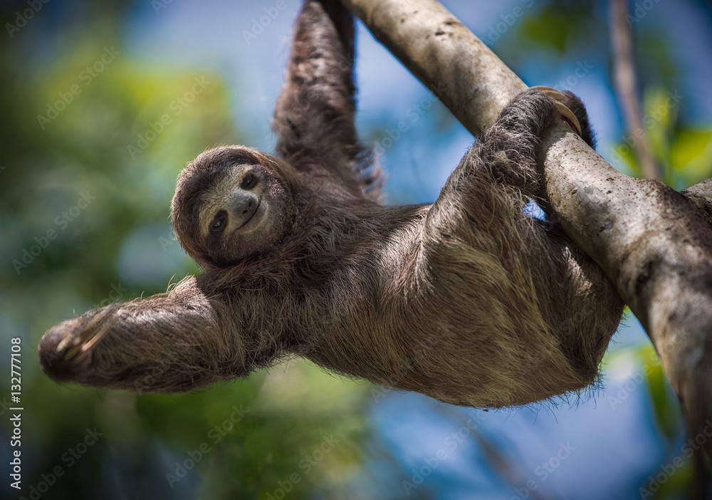 Fototapety, obrazy: Happy Sloth
