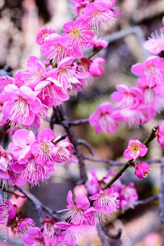 Poster Rose Japanese plum blossoms
