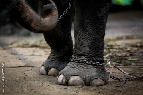 Chained elephant Canvas Print