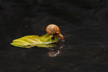Macro Closeup Of Green Forest  Frog With Snail On The Head Siting On The Water With Reflection, Photo