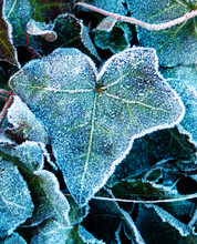 Detail Photography Of Frozen Ivy Leaf