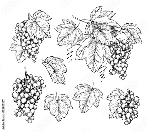 Grape vector isolated on white background Fototapete