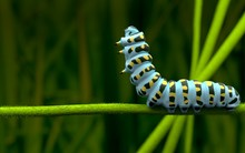 Blue Caterpillar Alone And Lov...