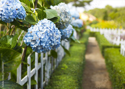 Photo Stands Hydrangea Hydrangea flower (Hydrangea macrophylla) in a garden