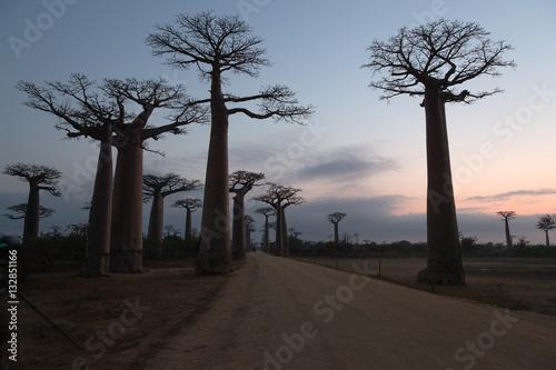 In de dag Baobab The Avenue of the Baobabs, Madagascar.