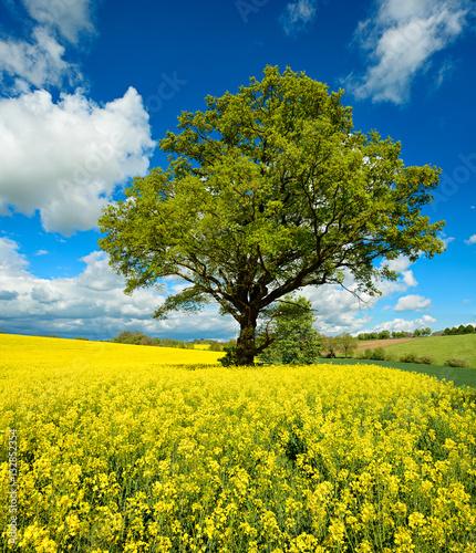 potezny-debowy-drzewo-w-polu-rapeseed-pod-niebieskim-niebem-z-chmurami-wiosna-krajobraz