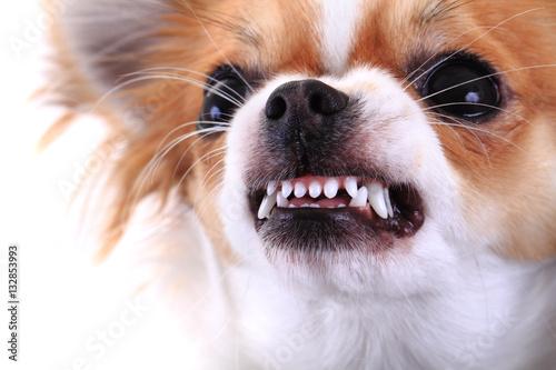 Obraz na plátně dangerous chihuahua face