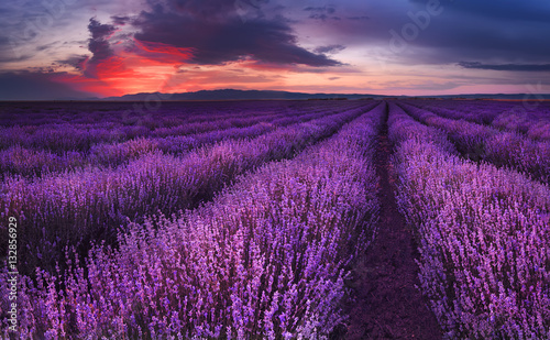 Spoed Foto op Canvas Violet Lavender fields. Beautiful image of lavender field. Summer sunset landscape, contrasting colors. Dark clouds, dramatic sunset.
