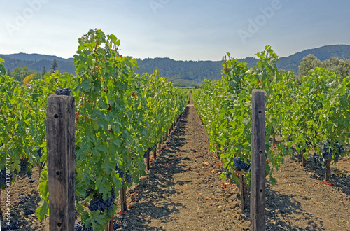 Fotografie, Obraz  Ripening Cabernet Sauvignon red wine grapes in a Napa Valley, California vineyar