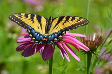 Tiger Swallowtail Butterfly, S...