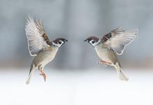 Pair The Funny Birds Sparrows ...