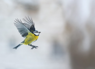 little bird blue tit flying up with its wings outstretched