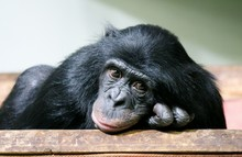 Chimpanzee Chimp Sad Monkey Ape (Pan Troglodytes Or Common Chimpanzee) Chimp Looking Sad And Thoughtful Stock Photo Photograph Image Picture