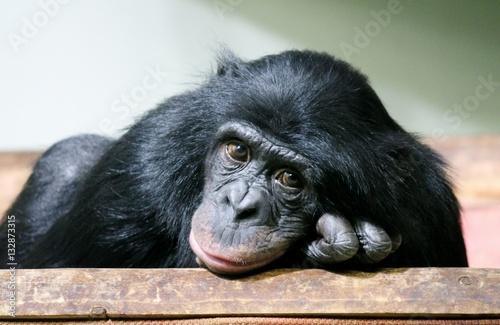 Foto op Canvas Aap chimpanzee chimp monkey ape (Pan troglodytes or common chimpanzee) chimp looking sad and thoughtful