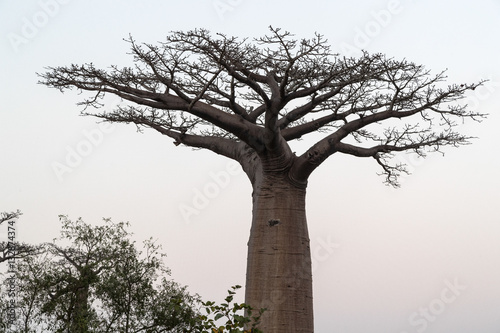 In de dag Baobab At The Avenue of the Baobab trees, Madagascar.