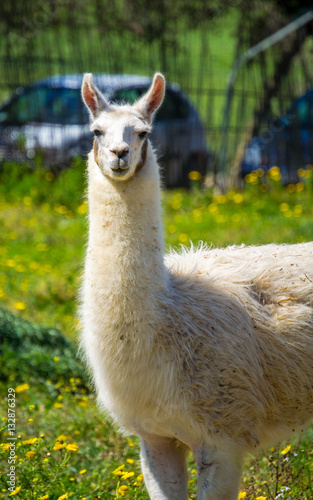 Foto op Canvas Lama Llama lama in the zoo outdoors