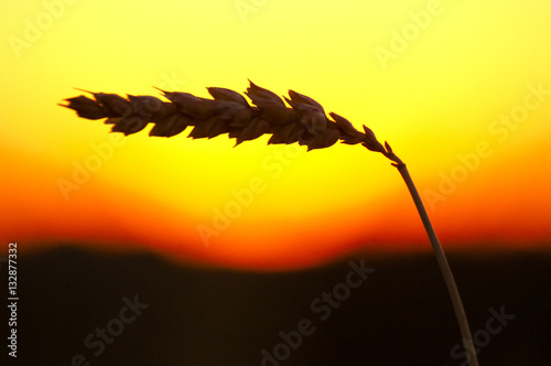 Poster Jaune Wheat Sunset