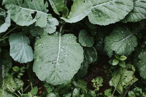 Papiers peints Vegetal Plants growing outdoors, rain on leaves, close-up