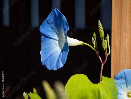 Fotografie, Tablou  Blue Japanese morning glory flower