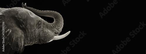Słonia zbliżenie czarno-biały sztandar
