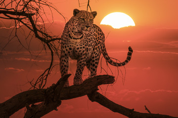 Fototapeta na wymiar sunset leopard on branch