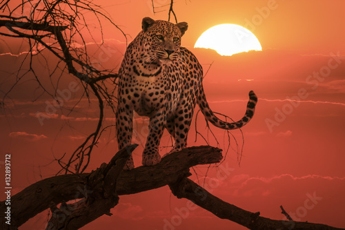 Foto op Plexiglas Luipaard sunset leopard on branch