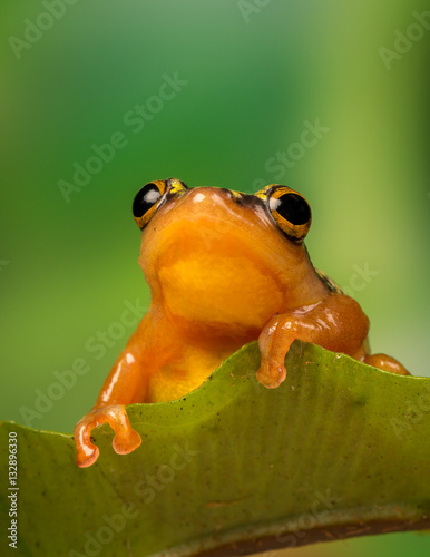 Foto op Plexiglas Kikker Golden Sedge Frog perched on a leaf with green foliage background.
