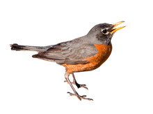 American Robin Isolated On White Background
