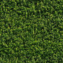 Seamless Tileable Texture - Green Wall Hedge Foliage 01