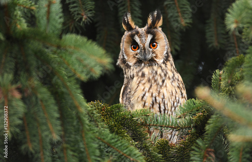 Poster Chouette Long-eared owl (Asio otus)