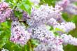 Wet fresh lilacs