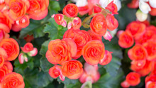 Beautiful Red Begonias In The Garden.