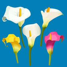 Set Of Calla Lily In White, Pi...
