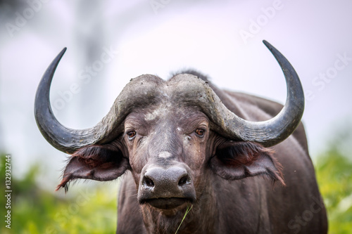 Deurstickers Buffel Cape buffalo starring at the camera.