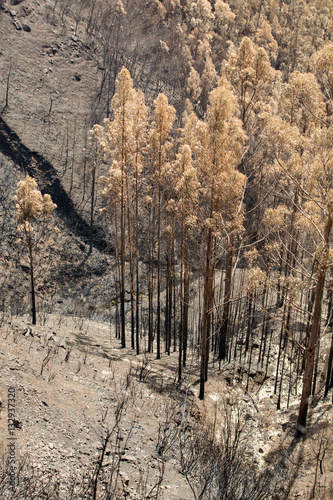 Keuken foto achterwand Schip World heritage forests of Madeira terribly destroyed by fires in 2016. Some of trees have enormous will of life and survived this disaster.