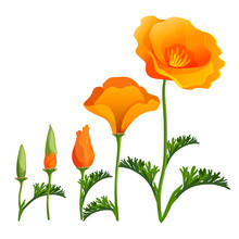 Poppy Ascending Order Or Stages Of Growth. Vector Realistic Illustration