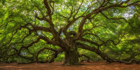 Angel Oak Tree Panorama