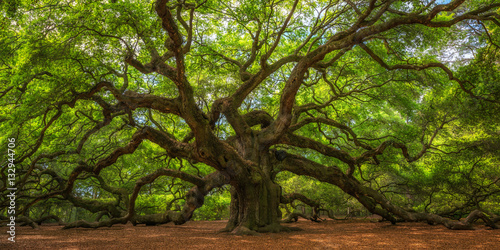 Photo Stands Trees Angel Oak Tree Panorama