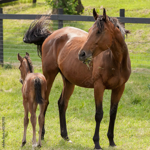 Fotografie, Obraz  A bay mare with grass in her mouth and her new foal in a spring pasture