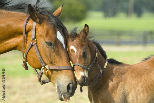 Fototapeta Beautiful horse mare and foal in green farm field pasture equine industry