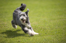 Playful Bearded Collie Running...