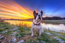 French Bulldog On The Walk At Sunrise